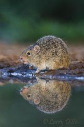 Rat,_Hispid_Cotton_70K7763
