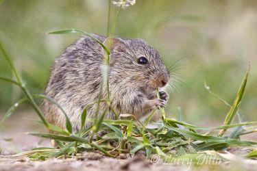 Rat,_Hispid_Cotton_MG_1270