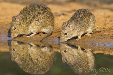 Rat,_Hispid_Cotton_MG_4049