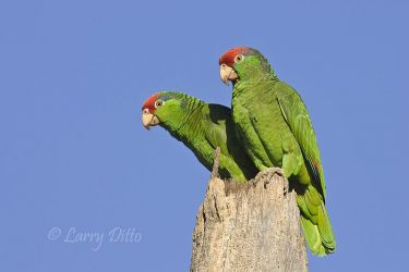 Red-crowned_Parrots_Larry_Ditto_X0Z6868