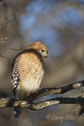 Red-shouldered_Hawk_Larry_Ditto_70K5181