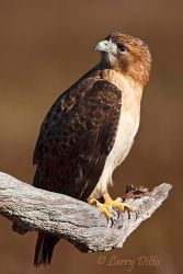 Red-tailed_Hawk_Larry_Ditto_70K6698