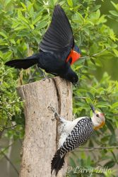 Red-winged_Blackbird_Larry_Ditto_70K2101