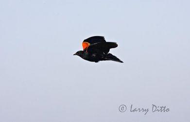 Blackbird, Red-winged (Agelaius phoeniceus) male in flight