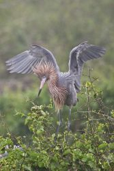 Reddish Egreet in breeding plumage landing, s. Texas coast