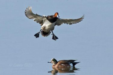 redhead duck landing