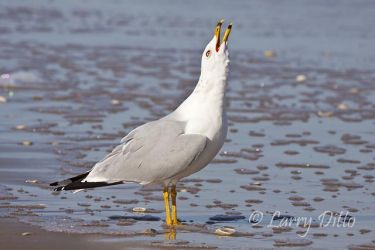 Ring-billed_Gull_Larry_Ditto_MG_0288