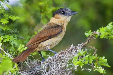 Rose-throated Becard (Pachyramphus aglaiae) female at nest, s. Texas