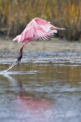 Roseate_Spoonbill_Larry_Ditto_70K3753