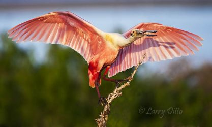 Roseate Spoonbill landing, island in the Laguna Madre, Texas