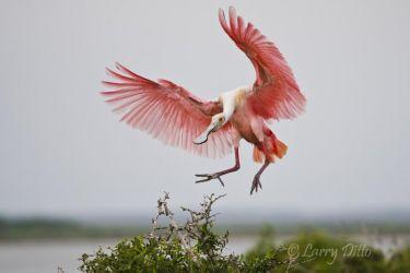 Roseate Spoonbill landing at nest, Laguna Madre, Texas