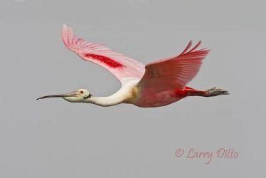 Roseate Spoonbill in flight, spring