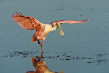 Roseate_Spoonbill_Larry_Ditto_70K8171