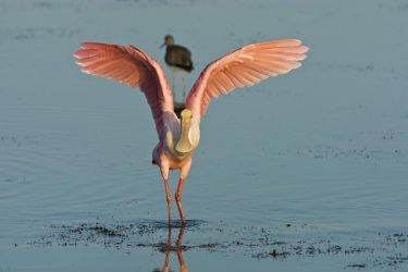 Roseate_Spoonbill_Larry_Ditto_70K8178