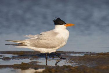 Royal Tern on beach by bay, Texas, spring