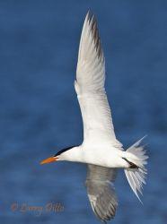 Royal Tern (Sterna maxima) adult in flight