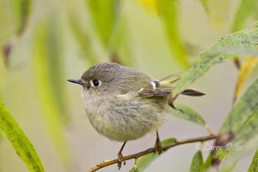 Ruby-crowned Kinglet in willow
