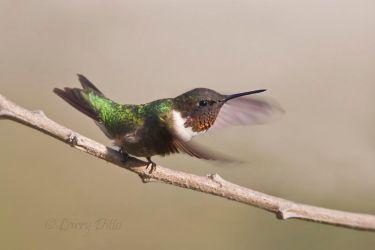 Ruby-throated_Hummingbird_51U0102