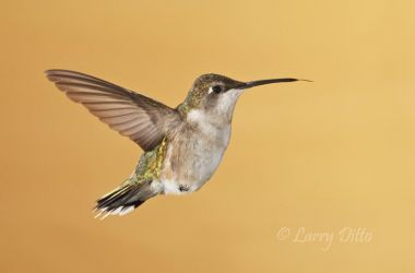 Ruby-throated_Hummingbird_Larry_Ditto_70K1151