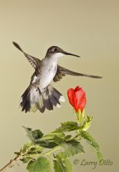 Ruby-throated_Hummingbird_Larry_Ditto_MG_4520