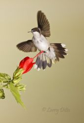 Ruby-throated_Hummingbird_Larry_Ditto_MG_4536