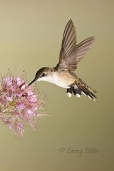 ruby-throated hummingbird at Rocky Mountain Bee Plant