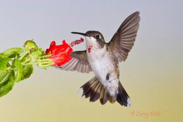 Ruby-throated_Hummingbird_Larry_Ditto_MG_6151