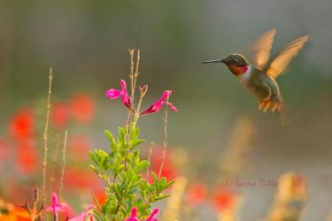 Ruby-throated_Hummingbird_Larry_Ditto_MG_7924