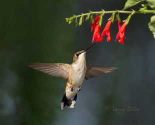 Ruby-throated_Hummingbird_Larry_Ditto_MG_8600