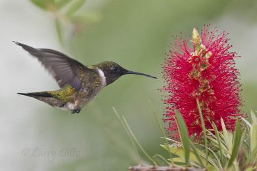 Ruby-throated_Hummingbird_Larry_Ditto_MG_8821