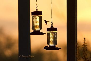Ruby-throated_Hummingbirds_Larry_Ditto_MG_7871