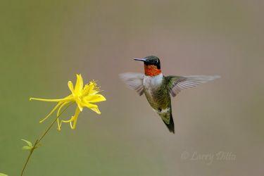 Ruby-throated_Humminngbird___Columbine