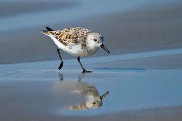 Sanderling_Larry_Ditto_MG_3550