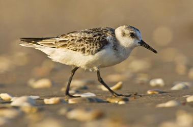 Sanderling on a shell beach, South Padre Island, Texas at sunrise