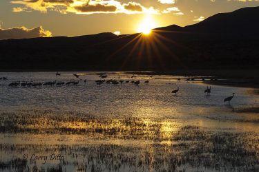 Sandhill Cranes lading at roost