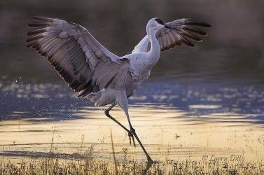 Sandhill Crane landing at roost