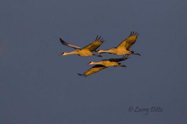 Sandhill Cranes at dawn.