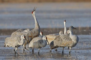 Sandhill Cranes calling from roost at Bosque del Apache NWR, N.M.