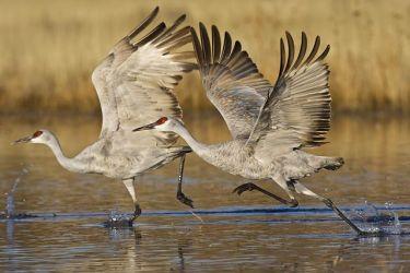 Sandhill Cranes on takeoff, New Mexico