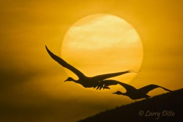 Sandhill Cranes flying in front of setting sun, New Mexico, autumn