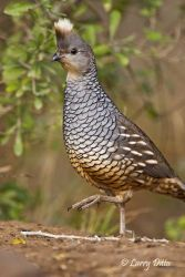 Scaled Quail, mail, walking through s. Texas brush country.