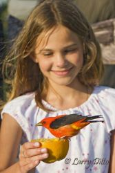 Scarlet_Tanager_Larry_Ditto_MG_5751