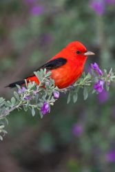 Scarlet_Tanager_Larry_Ditto_X0Z2491