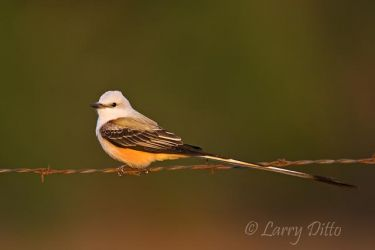 Scissor-tailed Flycatcher on fence, south Texas, spring
