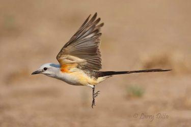 Scissor-tailed Flycatcher in flight, s. Texas