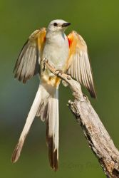 Scissor-tailed_Flycatcher_Larry_Ditto_MG_6886