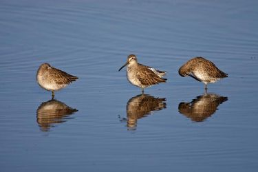 Short-billed_Dowitcher_Larry_Ditto_70K8486