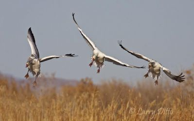 Snow_Geese_Landing_Larry_Ditto_MG_7519