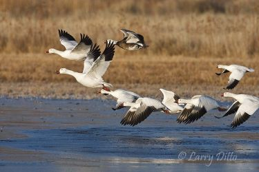 Snow_Geese_Larry_Ditto_70K0950