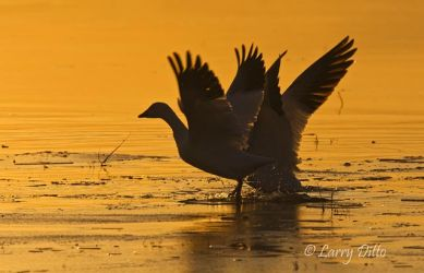 Snow_Geese_Larry_Ditto_70K1498